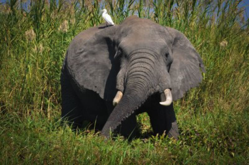 COURTEY: SKIP RUSSELL, FLICKRCC. - Environmentalists are incensed at a recent Trump administration decision to allow the importation of elephant parts collected during trophy hunting trips to Africa, but this is just the tip of the iceberg when it comes to the federal government's efforts to dismantle our endangered species protection mechanisms.