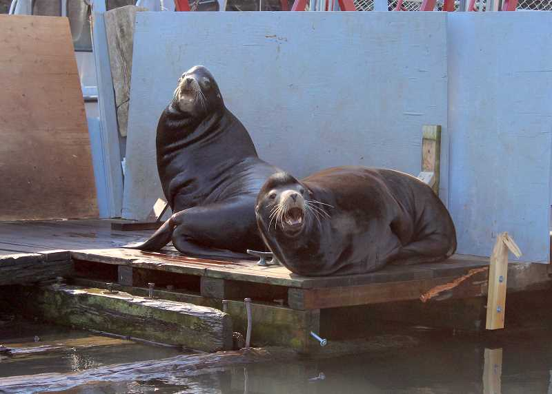 REVIEW PHOTO: SAM STITES - California sea lions rest on a dock near Oregon City, where the Oregon Department of Fish and Wildlife has left traps in hopes of returning when federal authorities approve permits allowing them to capture and euthanize sea lions observed preying on steelhead and salmon.