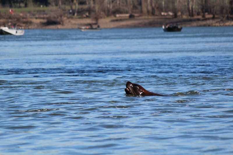 REVIEW PHOTO: SAM STITES - A Steller sea lion hunts in the waters below Willamette Falls. The Steller sea lion population, according to Bob Rees, is beginning to explode.