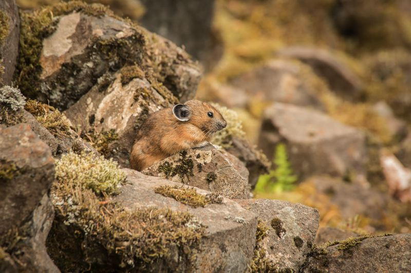 COURTESY: MICHAEL DURHAM/OREGON ZOO - An American pika peers out of a talus slope in the Columbia River Gorge. The Oregon Zoo will use a grant-funded citizen science project to study changes in the Columbia Gorge pika population.