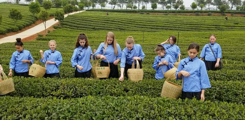 COURTESY PHOTO: FRANCESCA SINAPI - Students visited an organic tea farm where they picked their own leaves before a formal afternoon tea in China.