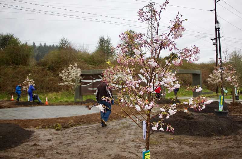 OUTLOOK PHOTO: CHRISTOPHER KEIZUR - The Akebono Cherry Blossom Trees in Main City Park will eventually grow to be 25 feet tall.