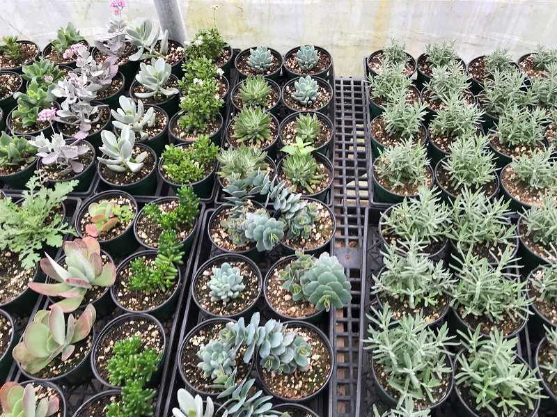 SUBMITTED PHOTO - Molalla FFA Chapter and the Agriculture Program are hosting their annual plant sale beginning April 21. All plants have been propagated and cared for by MHS FFA members and agriculture students.