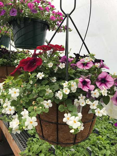 SUBMITTED PHOTO - The Molalla FFA Chapter and Agriculture Program plant sale starts April 21. This year there are several new colors of petunias and crazytunias.
