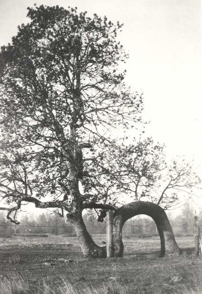 PHOTO COURTESY OF TROUTDALE HISTORICAL SOCIETY - The original Lovers Oak dated back to a June 1876 flood.