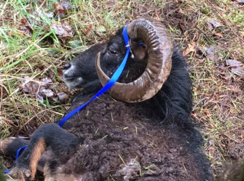 CONTRIBUTED PHOTO: CLACKAMAS COUNTY SHERIFF'S OFFICE - Clackamas County Sheriff's deputies called a veterinarian to attend to the abandoned ram, and then transported the animal to Eagle Fern Equine Hospital.
