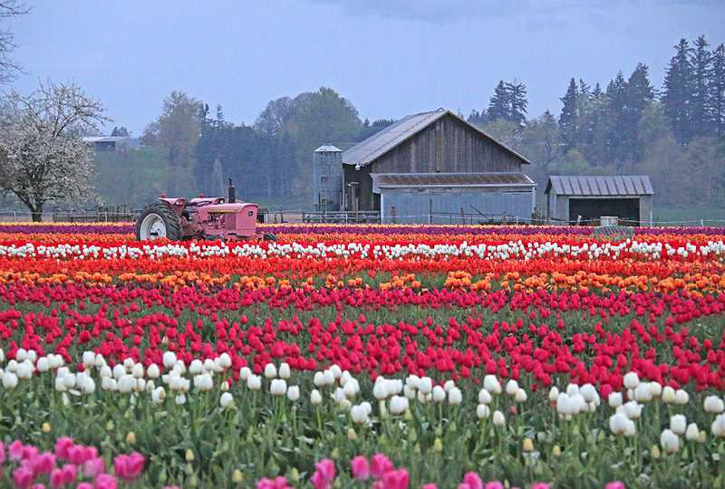 CUORTESY PHOTO: WOODEN SHOE TULIP FARM - This photo taken April 18 shows the vibrant colors on display at the Tulip Festival, which will stay open a week longer than planned.