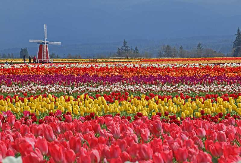 COURTESY PHOTO: WOODEN SHOE TULIP FARM - Tulips like cool weather, which means a prolonged Tulip Festival this year.