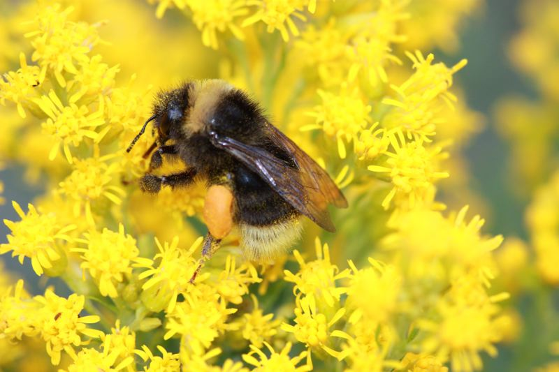 PHOTO BY RICH HATFIELD, COURTESY OF  XERCES SOCIETY. - A Western bumble bee (Bombus occidentalis), one of the three primary target species that the project partners want to understand better.