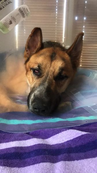 PHOTO COURTESY OF KRISTIN JUSTIS - Thor, a German Sheppard, lost nearly 24 pounds while he was missing and suffered an injury to his front left leg. Thor is recovering at home with his owners and two other dogs, but will require check-ins with a veterinarian to monitor his injury.