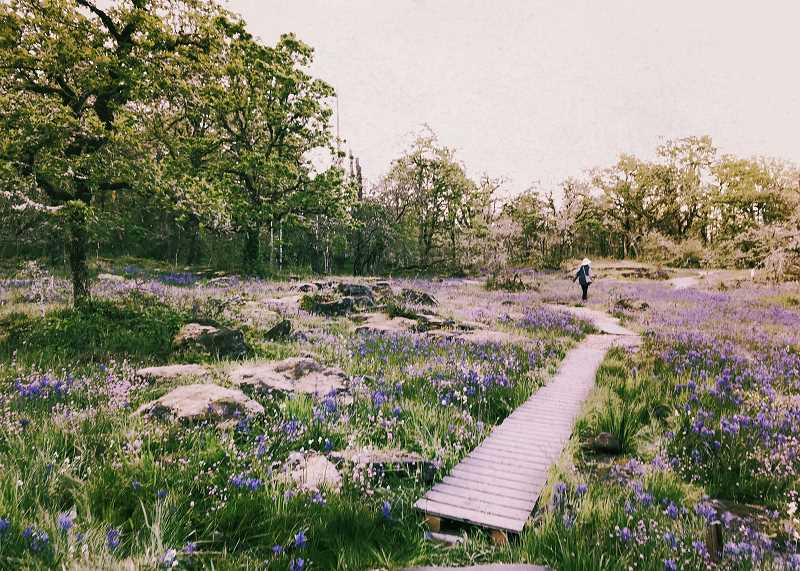 TIDINGS PHOTO: LESLIE PUGMIRE HOLE - The wild camas is in bloom at Camassia Nature Preserve in West Linn. The 26-acre site has a trailhead at the end of Walnut Street in West Linn. You can also reach the preserve through the trail on the south side of  West Linn HIgh School.