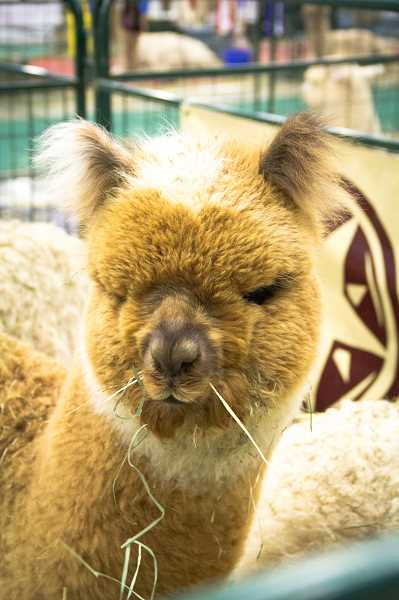 PHOTO COURTESY OF COLUMBIA ALPACA BREEDERS ASSOCIATION - Throughout the weekend, artisans will showcase alpaca fiber and examples of felting and fiber arts.