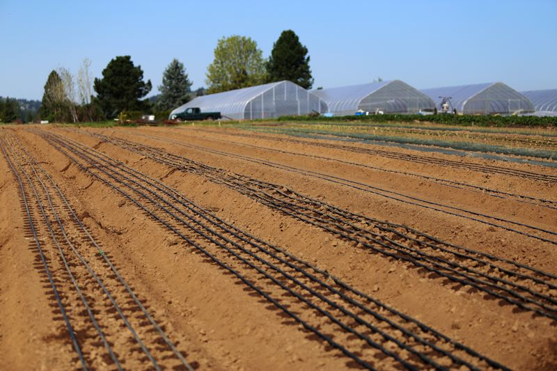 JESSIE DARLAND - Drip irrigation systems are laid out over a new crop. Drip irrigation is more environmentally friendly, and brings the water directly to the plant rather than spraying it across the whole field.