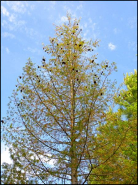 COURTESY: CHRISTINE BUHL, OREGON DEPARTMENT OF FORESTRY - Drought may result in a thinning canopy or stress cones.