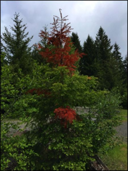 COURTESY: CHRISTINE BUHL, OREGON DEPARTMENT OF FORESTRY - Drought may result in flagged branches.