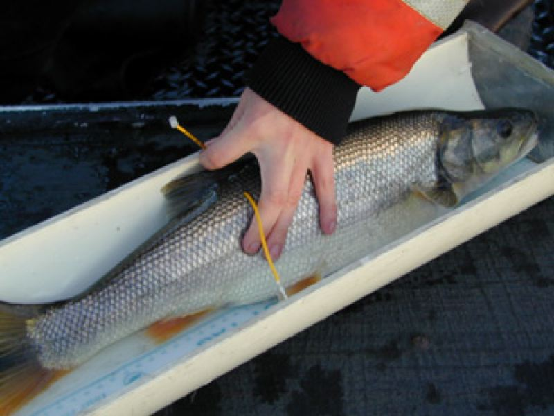 CONTRIBUTED PHOTO: OREGON DEPARTMENT OF FISH AND WILDLIFE - The bounty on Northern Pikeminnow netted one angler more than $83,000 last year.
