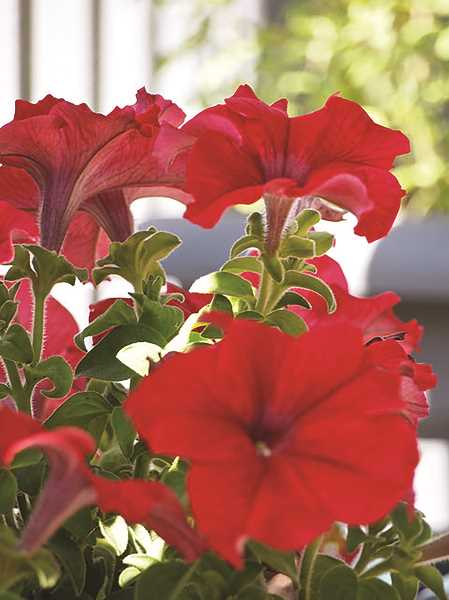 PHOTO BY CALIGULA1995 ON FLICKR - The Molalla Area Chamber is collecting donations to fill downtown pots with red and white petunias.