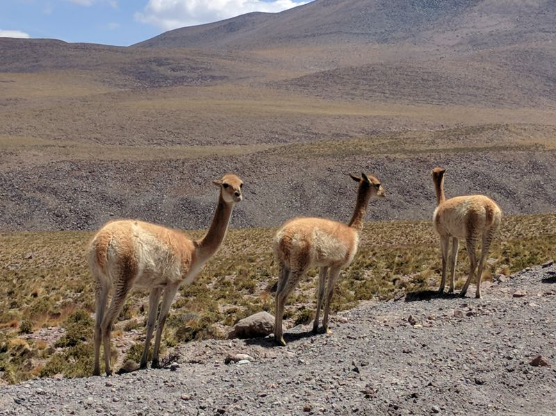 PHOTO COURTESY OF PAT HANRAHAN - These large animals found on Hanrahans trip resemble llamas and were beside the roadway as the group was descending from the ALMA radio telescope array location.