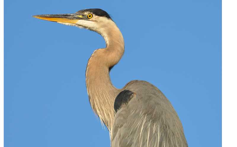 PHOTO BY MIKE HOUCK - Celebrate Great Blue Heron Week from May 30-June 10 throughout the metro area.