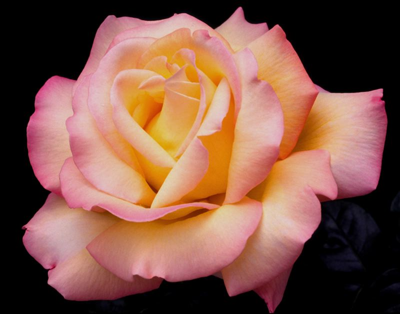 COURTESY: ROSE FESTIVAL FOUNDATION - This photo of the Peace Rose by Rich Baer was selected by the U.S. Postal Service to be on a line of Forever Stamps. Rich Baer and his wife Charold are longtime enthusiasts of the queen of flowers. Says Rich Baer: 'It's a happy experience when I'm around that beauty.'