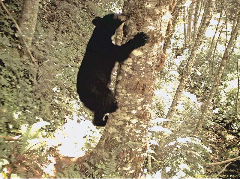 COURTESY PHOTO: ODFW - This photo of a black bear was taken by an ODFW trail cam on the Mt. Hood National Forest as part of a population study.