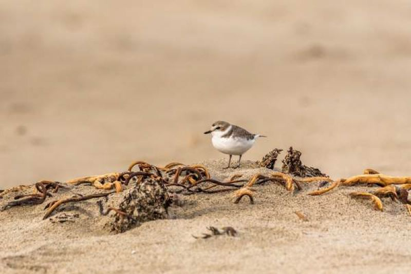 PHOTO BY OREGON DEPARTMENT OF FISH AND WILDLIFE, COURTESY OF THE DAILY ASTORIAN.  - A snowy plover at the beach (not the one nesting in Fort Stevens State Park.)