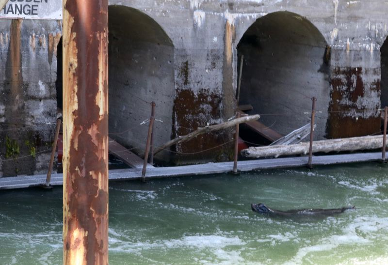 TRIBUNE PHOTO: ZANE SPARLING - Biologists say California sea lions are gobbling up 20 to 25 percent of the adult steelhead at Willamette Falls each year.
