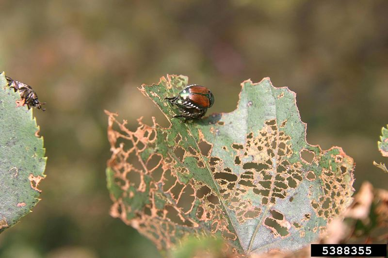 COURTESY PHOTO: MINNESOTA DEPARTMENT OF AGRICULTURE - Japanese beetles have become a major pest in parts of Washington County, and state officials are working hard to eradicate them — including, now, by sending infested debris to Hillsboro for containment.