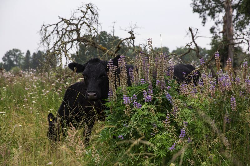 COURTESY PHOTO: METRO  - Cows munch weeds and grass at Howell Territorial Park on Sauvie Island, where they'll remain for several weeks in a pilot project to aid wildflowers, habitat.