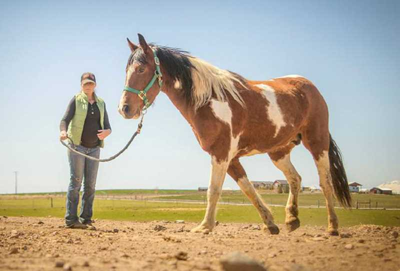 PHOTO BY JOY REYNEKE - Trainer Heather Petersen works with 'Phoenix,' a tricolored pinto mare, rescued by the Warm Springs Horse Network.