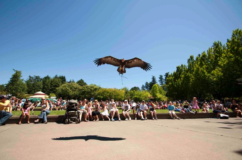 COURTESY: KEVIN BROWN/OREGON ZOO - A vulture soars over the crowd during a Wildlife Live show at the Oregon Zoo. The Wildlife Live shows continue this year.