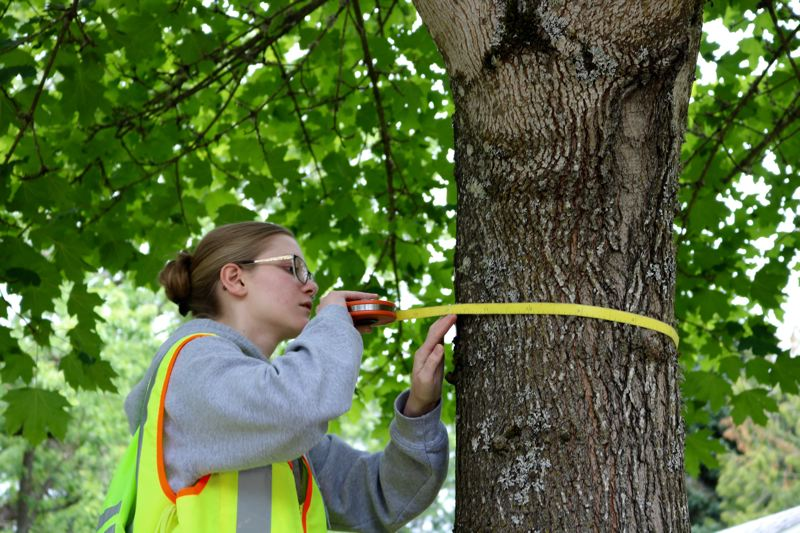 TRIBUNE PHOTO: ZANE SPARLING - A volunteer data collector measures the width of a tree inside Gabriel Park on Saturday, June 23 in Portland.