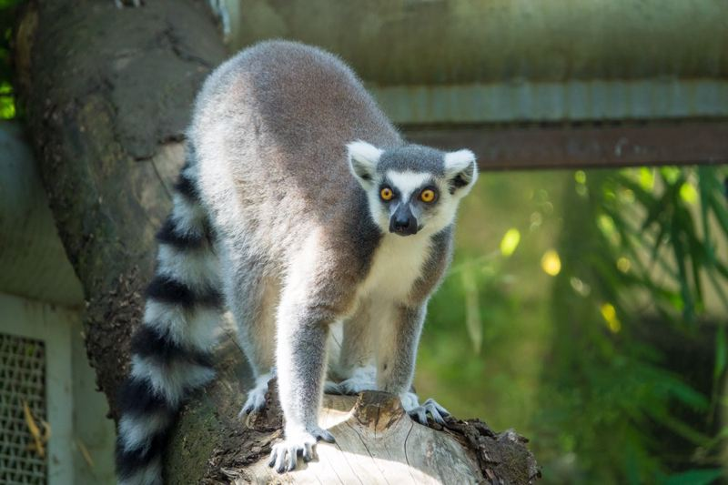 COURTESY: KATHY STREET/OREGON ZOO - This ring-tailed lemur is one of five that joined the primate family at the Oregon Zoo recently.