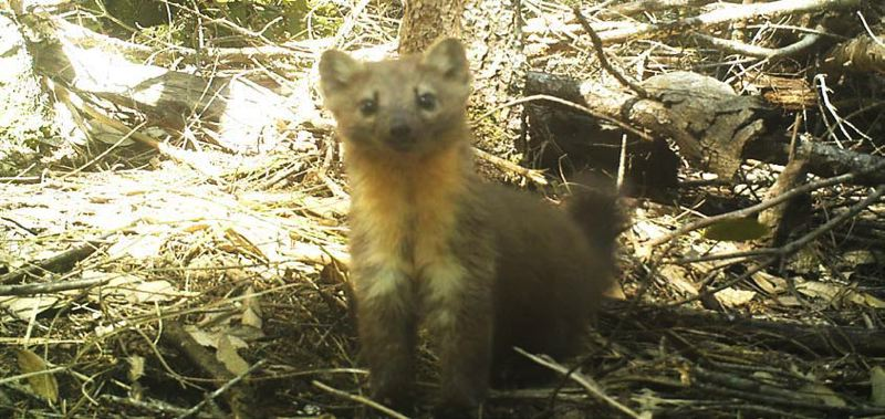 PHOTO COURTESY CHARLOTTE ERIKSSON, OREGON STATE UNIVERSITY  - Martens, typically 2 feet long, have large, triangular ears and a long tail. They hunt small mammals, birds, reptiles and insects, and are eaten by larger mammals and raptors.