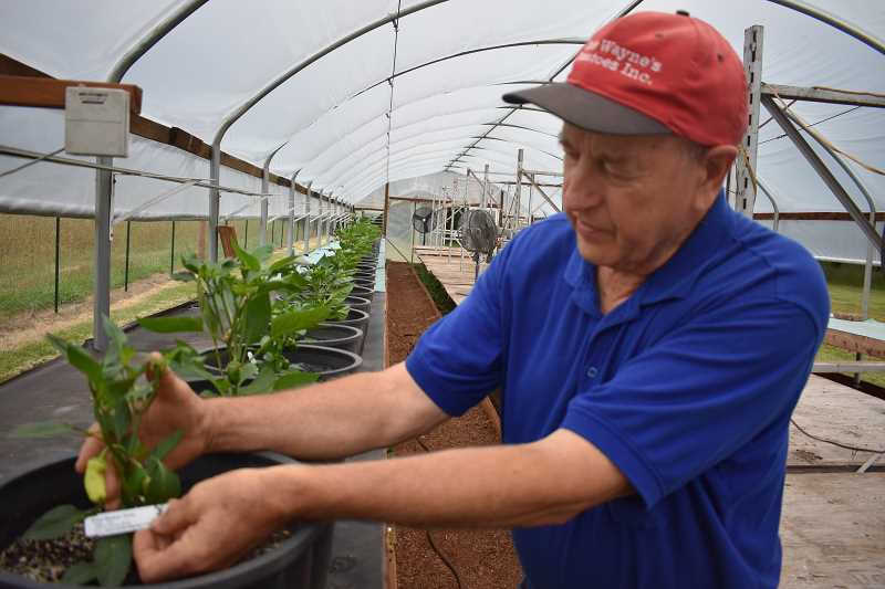 ESTACADA NEWS PHOTO: EMILY LINDSTRAND - Carl Barney checks the progress of pepper plants growing at Uncle Waynes Tomatoes.