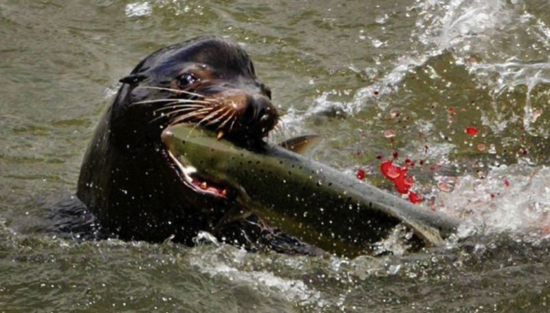 FILE PHOTO - A California sea lion snacks on a fish near Oregon City.