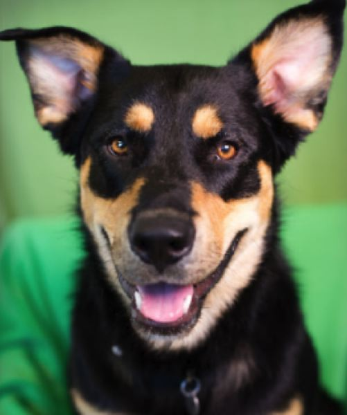 COURTESY MULTNOMAH COUNTY - This dog was adopted out despite having nipped a child multiple times, drawing blood.