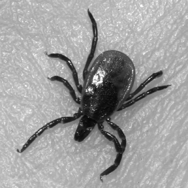 CONTRIBTUTED PHOTO: TOM MURRAY - If you dont think that this Lyme disease carrying, blood-sucking ectoparasite is waiting out there for you in this newspapers coverage area, think again.