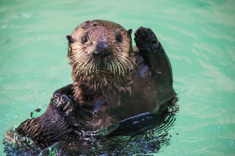 COURTESY: MICHAEL DURHAM/OREGON ZOO - The Oregon Zoo reached an all-time attendance record, with people attracted by Juno the sea otter and other residents.