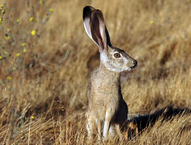 WIKIMEDIA COMMONS - Black-tailed jack rabbits are found in Central Oregon.