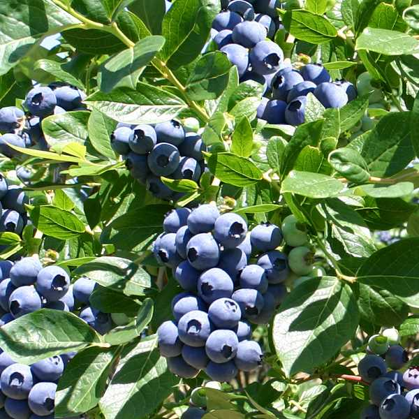 Oregon Blueberry Commission says growers are expecting to harvest more than 130 million pounds of blueberries this year. Many u-pick farms are located in Clackamas County; visit one today.
