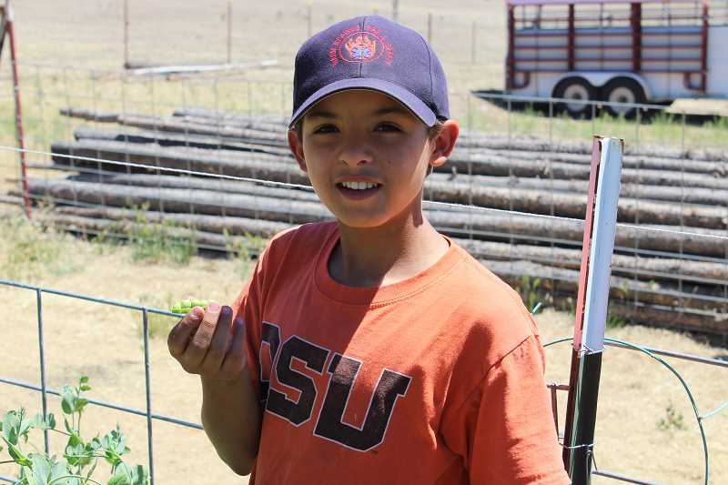 HOLLY SCHOLZ/CENTRAL OREGONIAN  - Eleven-year-old Malachi Walker shows a fresh pea pod full of fat, ripe peas. His family operates Auntie Bean's Farmstand on the Madras Highway and will host a CROP event next Saturday.