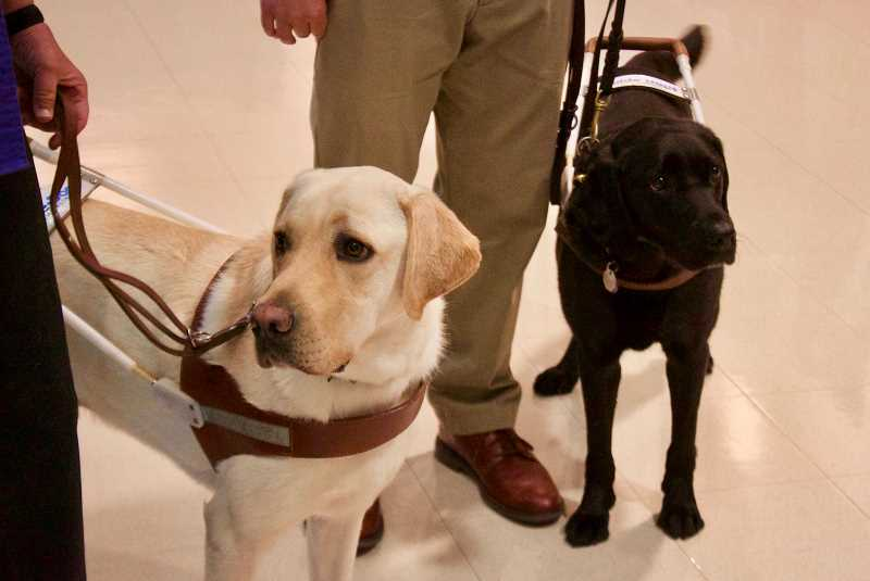 OUTLOOK PHOTO: CHRISTOPHER KEIZUR - Kebab, left, and Forli, right, greeted visitors to Guide Dogs for the Blind during a June event in partnership with the Gresham Area Chamber of Commerce.