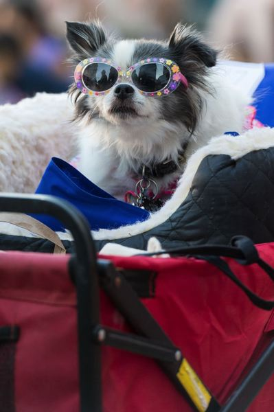 STAFF PHOTO: CHRISTOPHER OERTELL - A cool dog chills out during the costume contest at last year's Dogs on Parade event at the Hillsboro Civic Center.