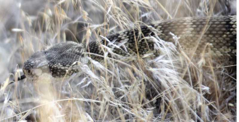 STEELE HAUGEN - Rattlesnakes can be found at Smith Rock.