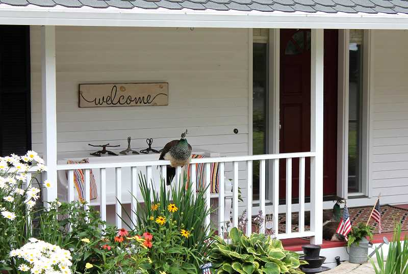 TIDINGS PHOTO: PATRICK MALEE - The peahens, also known as the Ladies of West Linn, have made themselves at home on many front porches. Here, they take an afternoon rest at Nixie Krusee's home.