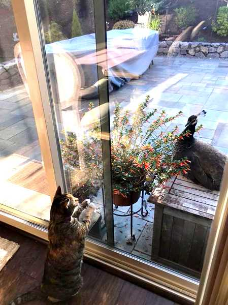 SUBMITTED PHOTO: INGE BARBEE - The peahens have also perplexed (or even angered) many local cats.