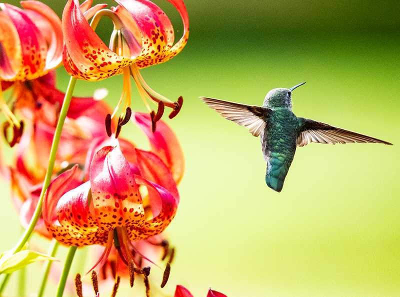 An Anna's hummingbird hovers near a tiger lily in the Louis J. Simpson Shore Acres Gardens.