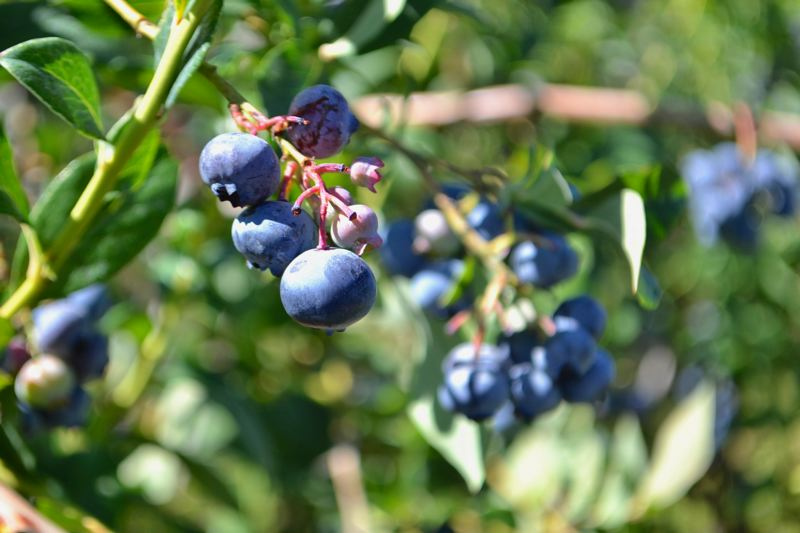 POST PHOTO: BRITTANY ALLEN - Judy Ebert at Oregon Blues said the heat is what gives blueberries their sweetness and helps ripen them, but too much heat can also stunt them.