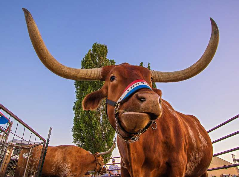PHOTO BY DAVID BROWNELL - Legendary Longhorns 'Winchester' and 'Rawhide' chew their cud while waiting for their performance on Friday evening, when they were saddled up to offer rides to paying customers.